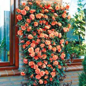Роза плетистая Оранжевая