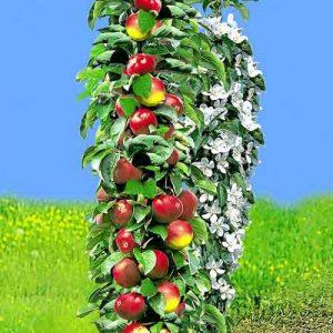 Яблоня колоновидная ранняя