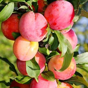 Слива-абрикос колоновидная Шедевр