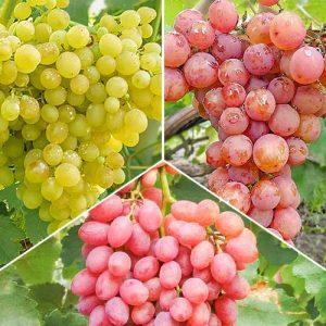 Суперпредложение! Комплект бессемянного винограда из 3 сортов