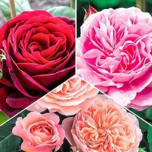 Суперпредложение! Комплект английских роз Триколор из 3 сортов