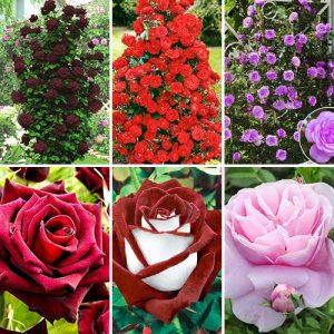 Суперпредложение! Комплект чайно-гибридных и плетистых роз из 6 сортов