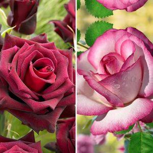 Суперпредложение! Комплект чайно-гибридных роз Блэк энд Вайт из 2 сортов