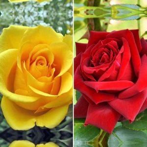 Суперпредложение! Комплект чайно-гибридных роз Дуо из 2 сортов