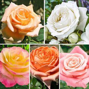 Суперпредложение! Комплект чайно-гибридных роз Парфюм из 5 сортов