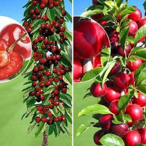 Суперпредложение! Комплект колоновидных деревьев Урожайная парочка из 2 саженцев