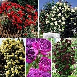 Суперпредложение! Комплект плетистых роз Цветной микс из 5 сортов