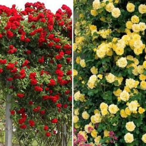 Суперпредложение! Комплект плетистых роз Дуо из 2 сортов