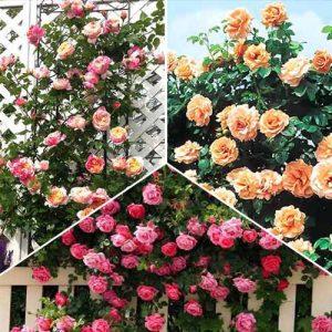 Суперпредложение! Комплект плетистых роз Трио из 3 сортов