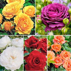 Суперпредложение! Комплект роз флорибунд Цветной микс из 5 сортов