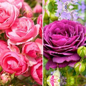 Суперпредложение! Комплект роз флорибунд Дуо из 2 сортов