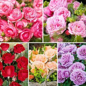 Суперпредложение! Комплект роз флорибунд Фламинго из 5 сортов