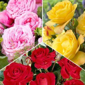 Суперпредложение! Комплект роз флорибунд Триколор из 3 сортов