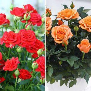 Суперпредложение! Комплект роз спрей Дуо из 2 сортов