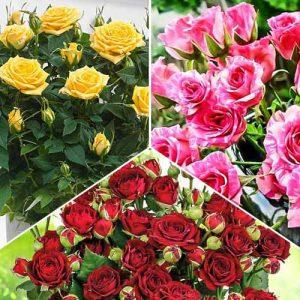 Суперпредложение! Комплект роз спрей Триколор из 3 сортов