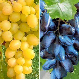Суперпредложение! Комплект винограда Гиганты из 2-х сортов