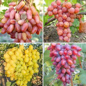 Суперпредложение! Комплект винограда Суперранний из 4 сортов