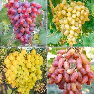 Суперпредложение! Комплект Виноградная элита из 4 сортов
