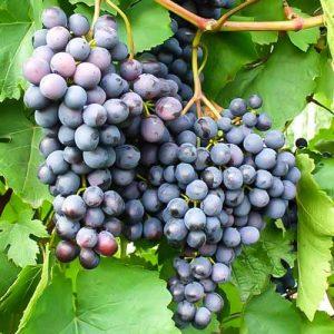 Виноград Аметистовый