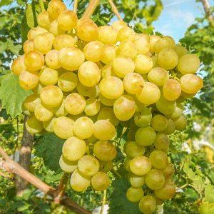 Виноград Белый ранний
