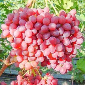 Виноград Кишмиш Велес