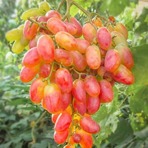 Виноград Золотой юбилей