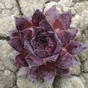 Молодило Пурпуреум