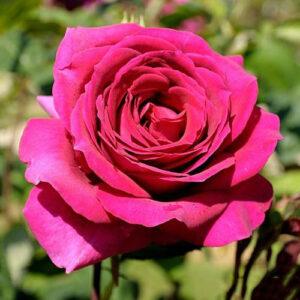 Роза чайно-гибридная Биг Перпл