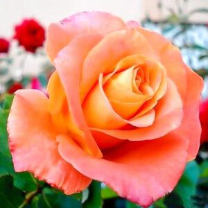 Роза чайно-гибридная Экзотика