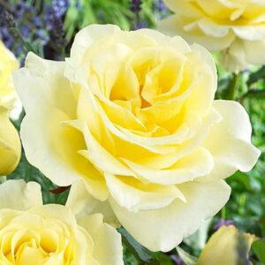 Роза чайно-гибридная Элина