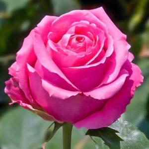 Роза чайно-гибридная Королева красоты