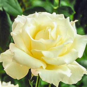 Роза чайно-гибридная Ла Перла