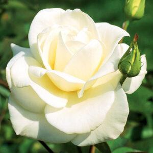 Роза чайно-гибридная Паскали