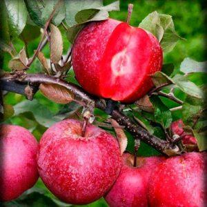 Яблоня Розовый жемчуг (красная мякоть)